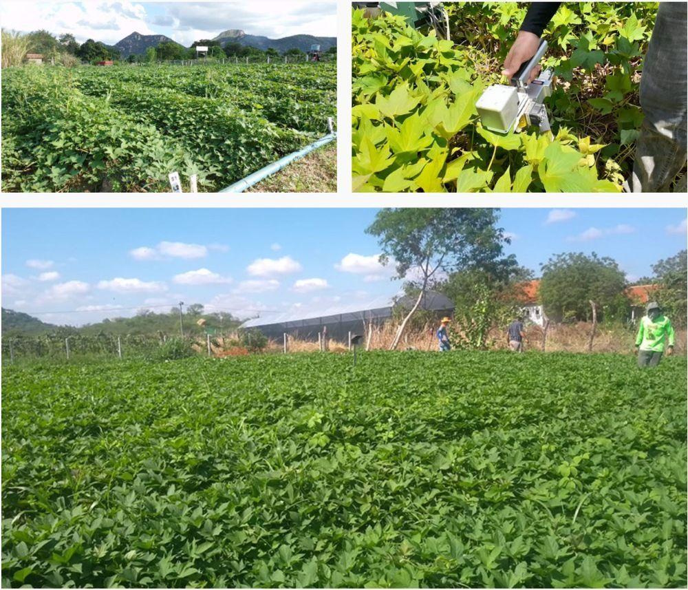 Pesquisa desenvolvida na UEPB potencializa cultivo batata doce na microrregião de Catolé do Rocha - UEPB