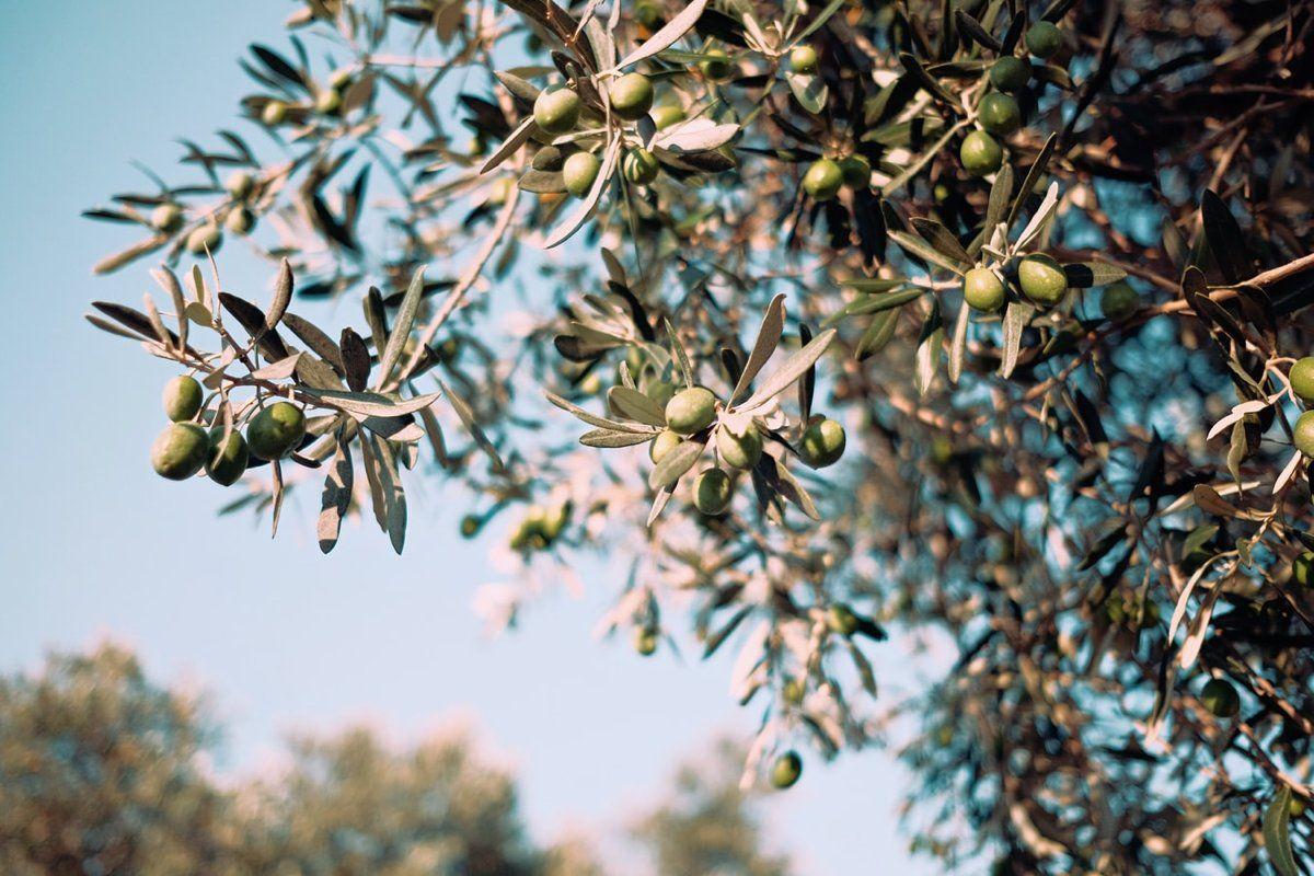 Bioplaguicidas para ayudar a salvar el patrimonio olivarero - US