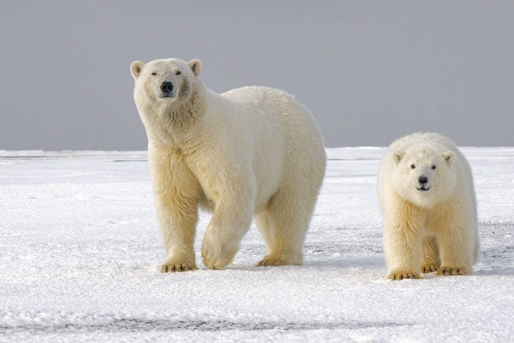 Pesticidas na gordura de ursos polares? Saiba os motivos no programa Coalizão UFPR pela Década dos Oceanos