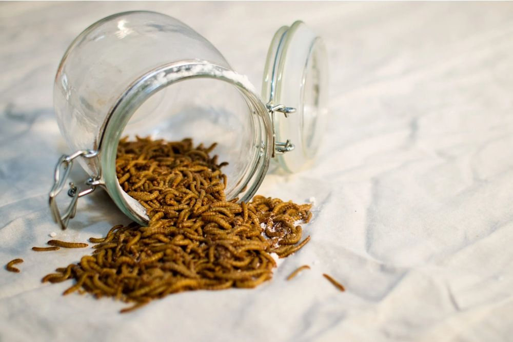 Un tratamiento natural a partir de harina fabricada con gusanos ayuda a prevenir la diabetes - UGR
